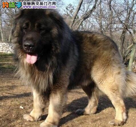 犬中之王忠心护主的「高加索犬」