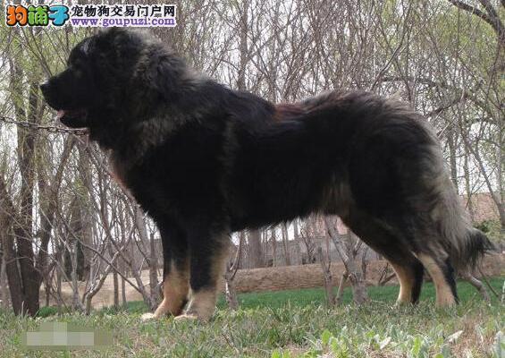 高加索犬具备的优秀特质及个性解析