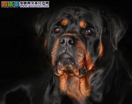 罗威纳犬聪明、高贵机警而有自信