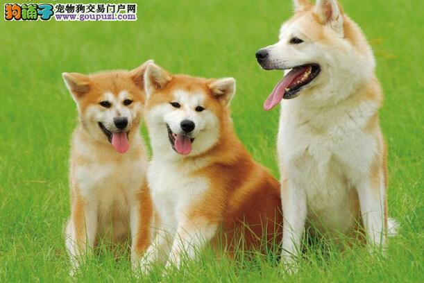 秋田犬由来及历史,外观,习性介绍