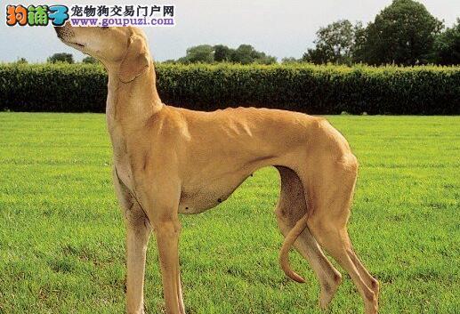 身怀绝技的格力犬,让人羡煞的纤细身材