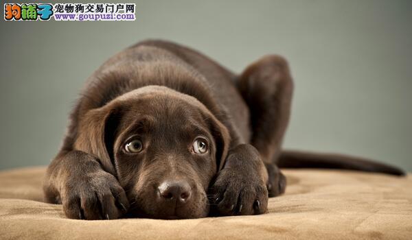 性格随和,高智商且忠心的拉布拉多犬