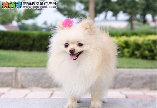 忠诚而温柔的博美犬,爱撒娇