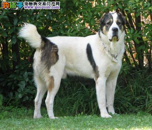 优质的中亚牧羊犬所具备的特质