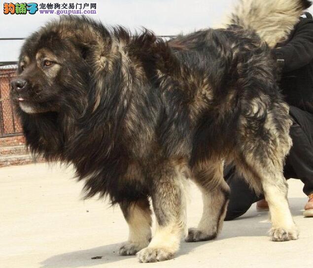 世界最大狗俄罗斯高加索犬,也有温柔的一面