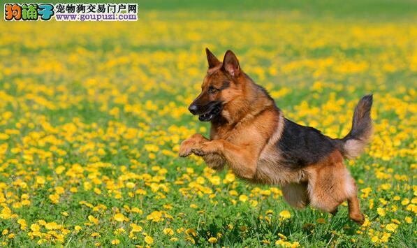 通过观察颈部和眼耳辨别纯种德国牧羊犬