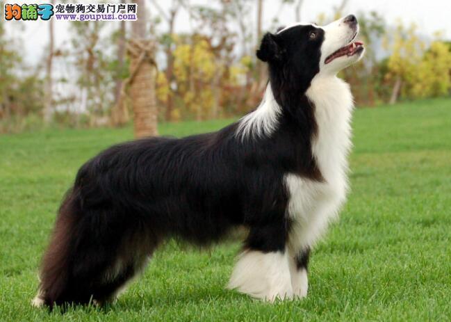 智商第一的边境牧羊犬,外观和习性介绍