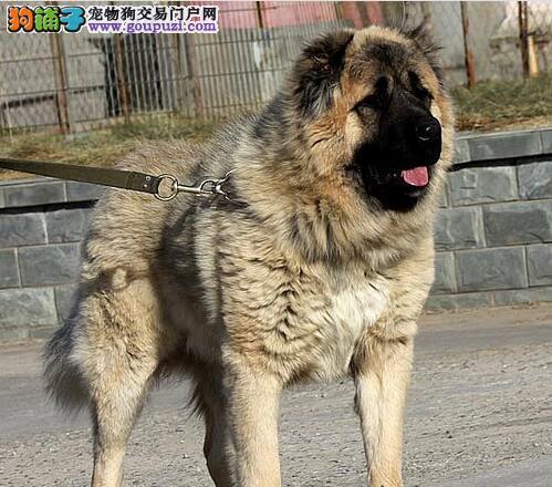 沉着稳重的戒护犬,高加索犬