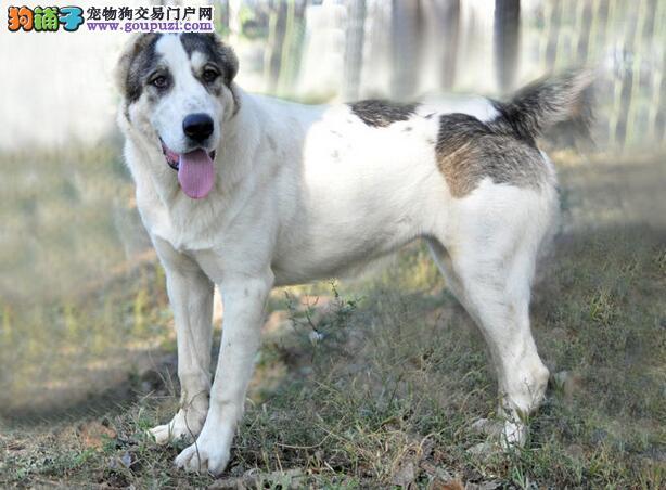 详细介绍中亚牧羊犬的外形特征