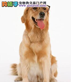 选购拉布拉多犬之前先来了解他的特征习性