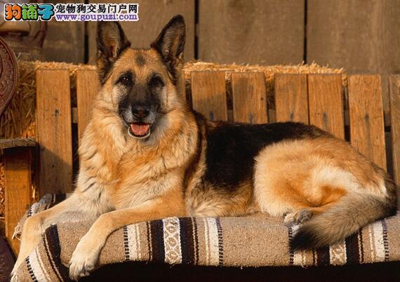 机警勇敢的德国牧羊犬,强壮且智商高