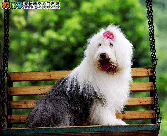 古代牧羊犬像长毛可爱的布娃娃