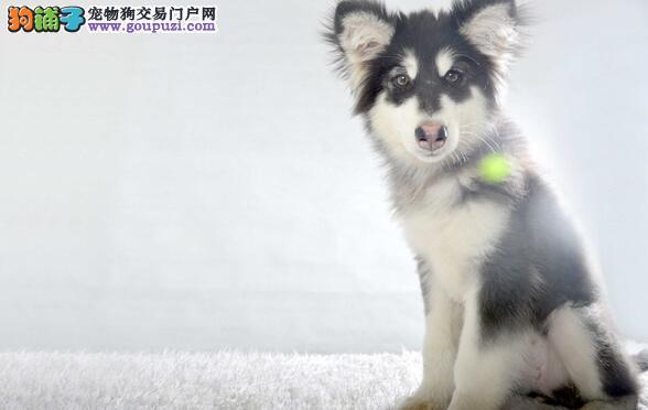 阿拉斯加雪橇犬和哈士奇一样吗