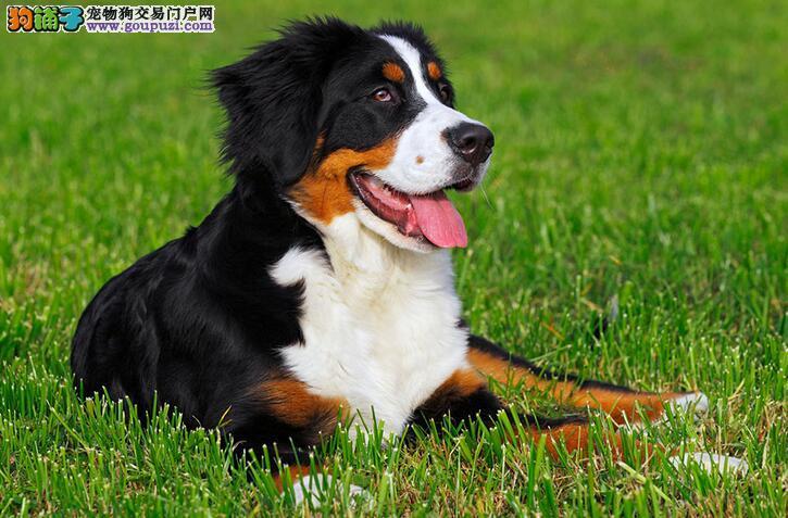 身大心细的狗狗,伯恩山犬惹人爱