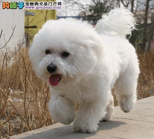 比熊犬来自法国的浪漫狗儿,可爱的卷毛犬