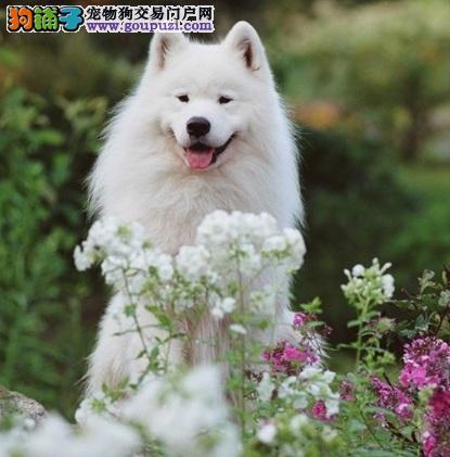 挑选购买优质萨摩耶犬的方法