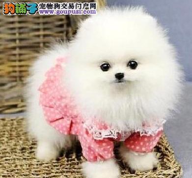 小小宠物犬,博美狗的性格