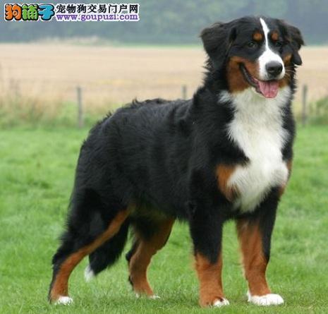 优秀护卫犬伯恩山犬的外形特征及饲养须知