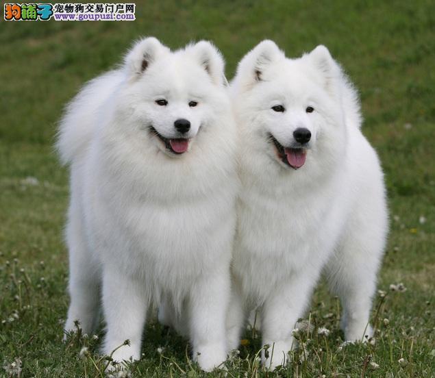 了解微笑犬萨摩耶的个性性格