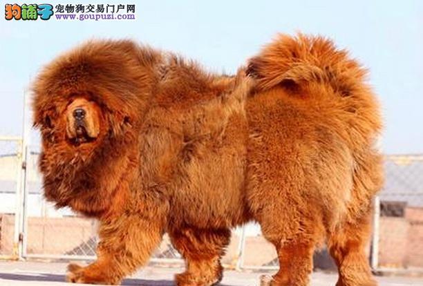 高加索犬和藏獒犬的相似之处