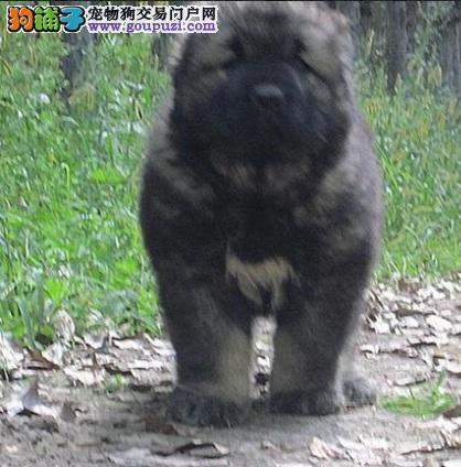 庞大的巡逻犬,高加索犬