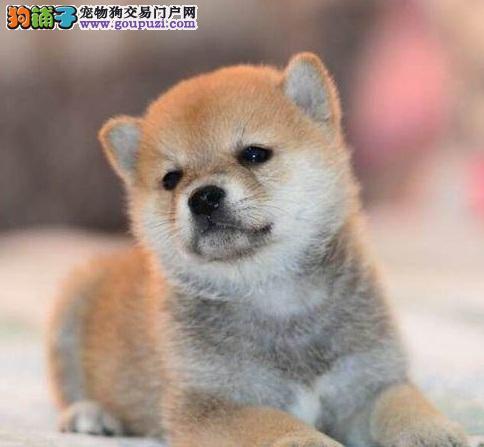 因表情包走红的宠物狗,柴犬的个性