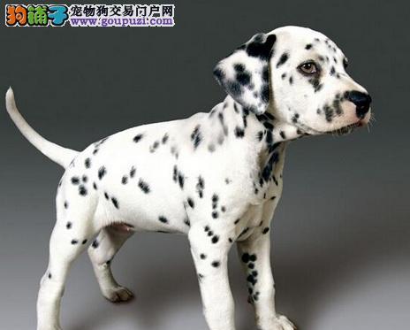 101忠犬的原型——大麦町犬