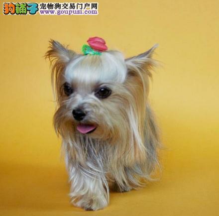 选购约克夏幼犬的方法,挑选诚信卖家很重要