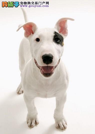 超特别的牛头梗犬的性格了解、健康与疾病