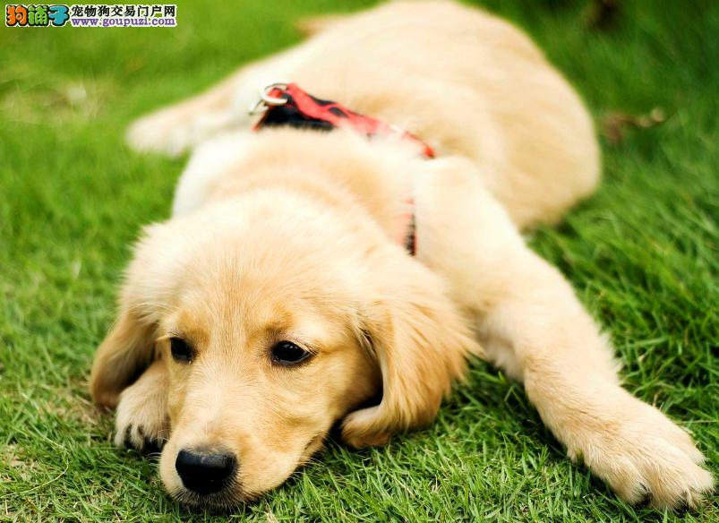 对人有巨大贡献的黄金猎犬,优秀的导盲犬