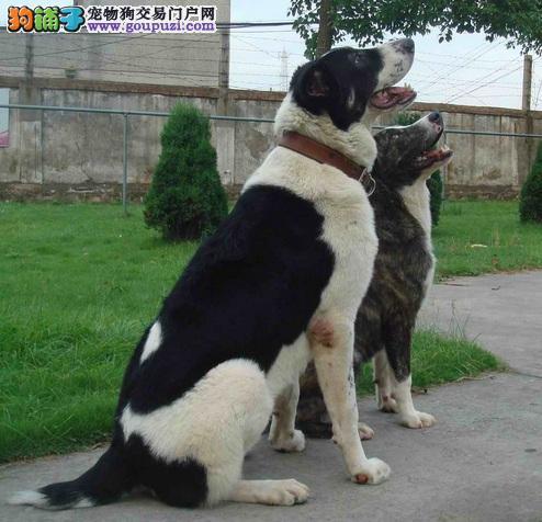 中亚牧羊犬的性格与其健康问题