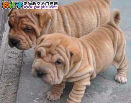 稀有犬种沙皮犬的外观、健康与疾病