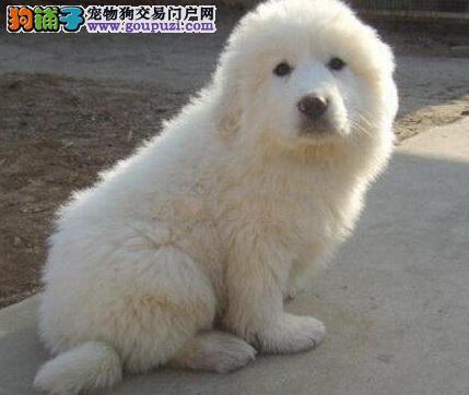 了解大白熊犬及其健康与疾病