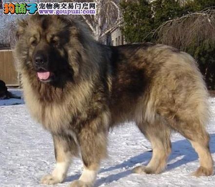 高加索犬多少钱一只?价格受体型颜色影响