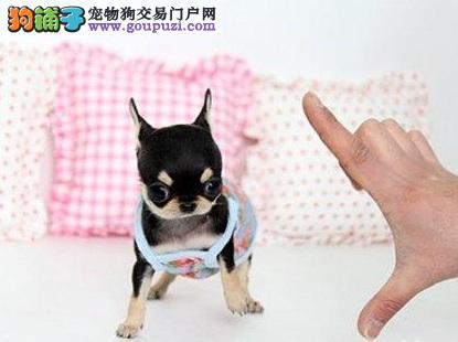 世界上最小的犬种吉娃娃的起源及其外观
