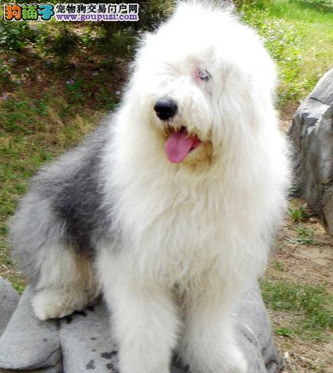 古代牧羊犬多少钱,纯种古牧犬价格高