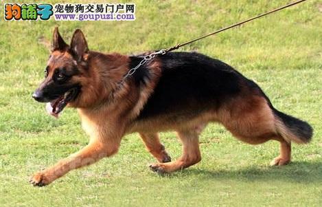 超级有正义感的德国牧羊犬