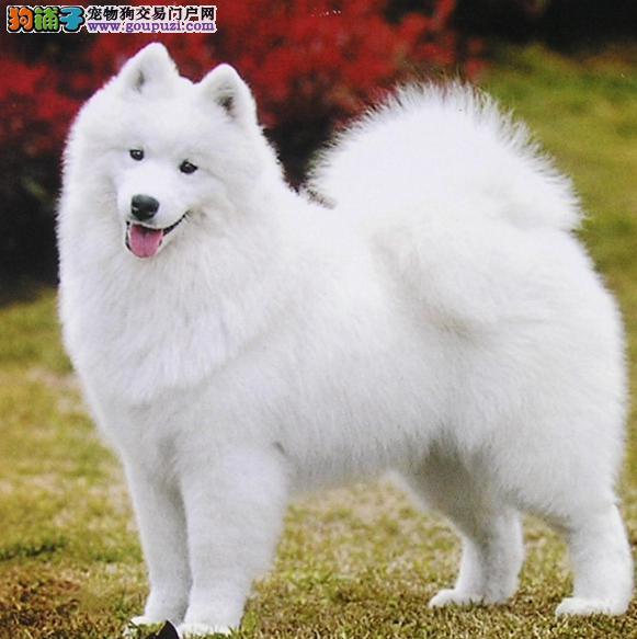 白色天使狗萨摩耶犬的外形特点及饲养须知
