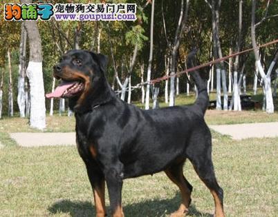 了解罗威纳犬及其外观特征5