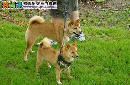 疗愈系的柴犬,个性独立有主见