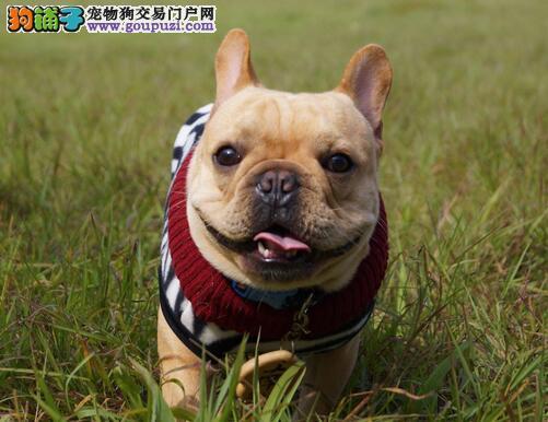 法国斗牛犬(French Bulldog),逗趣的脸庞是显著特征