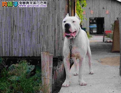 杜高犬拥有洁白美丽的外表及善良的本质