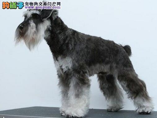 活泼机警的巨型雪纳瑞犬