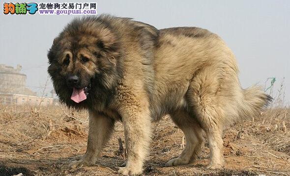 高加索犬挑选技巧及外形特征