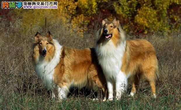 精致且有灵性的苏格兰牧羊犬,颜值与智慧并存