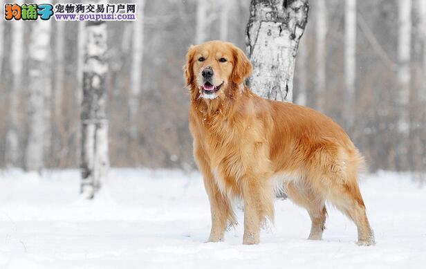 黄金猎犬智商高,像小孩一样温柔和善
