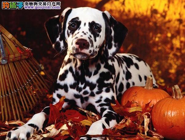 大麦町犬有风度又贴心的伴侣犬