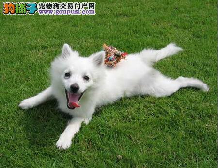 如贵妇般优雅的狐狸犬,拥有贵族般的气势