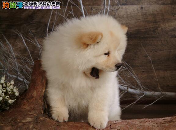 可爱有个性的松狮犬,自我独立又固执的性格