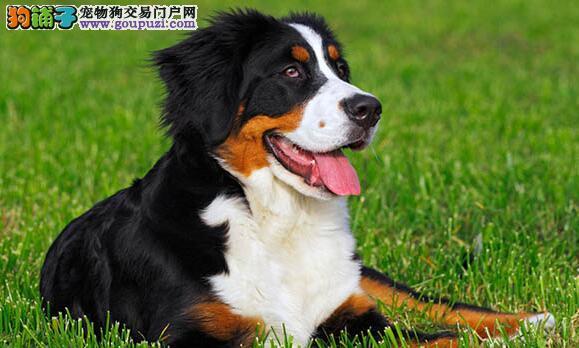 伯恩山犬十分文静,被视为一种能干又忠诚的伴侣
